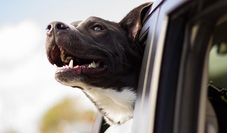hond vervoeren, hond in auto, veiligheid hond, huisdieren in auto, autorijden met hond, wetgeving, crashtest, hond in koffer, hond op achterbank